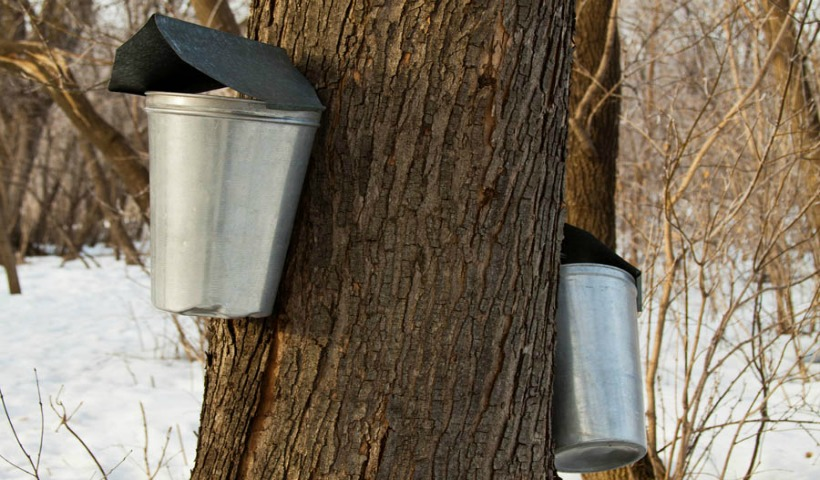 Maple Syrup Festivals And Events In Oakville And The Greater Toronto Area